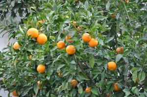 citrus aurantium tree