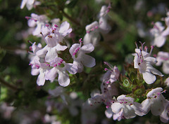 Thymus vulgaris Linn.