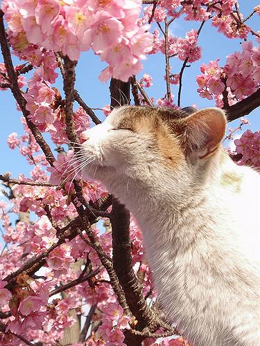Sakura cat sniffing spring