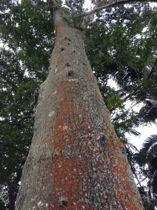 Balsam Copaiba