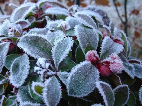 Gaultheria or Wintergreen
