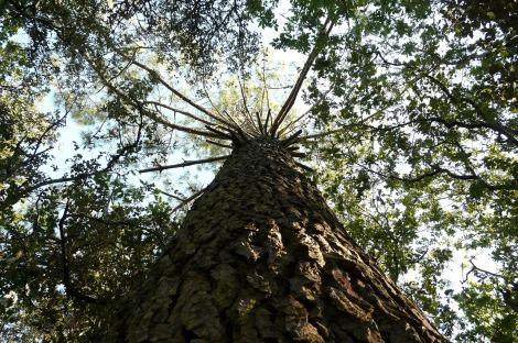 pine pinus