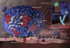 Influenza Virus Binds to a Respiratory Tract Cell