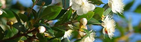 Myrtus communis(Myrtle)